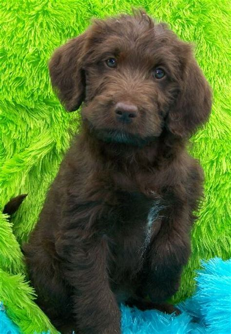 labrador doodle puppies for sale labradoodle breeder information animals