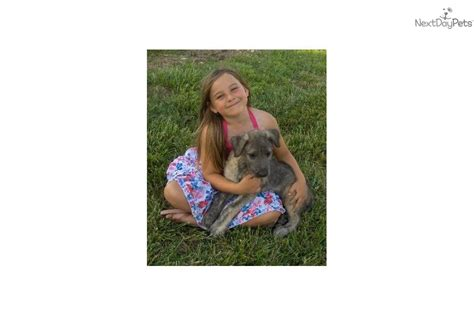 wolfhound puppies for sale near me wolfhound puppy for sale near springfield missouri 0dc63ab8 b391