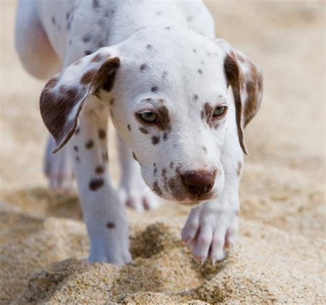 how much do dalmatian puppies cost up picture of dalmatian puppy jpg hi res 720p hd