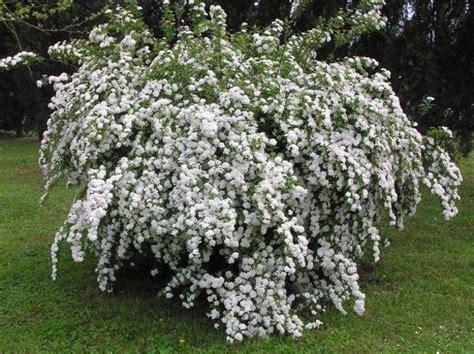 cespugli giardino arbusti da giardino per tutte le stagioni idee green