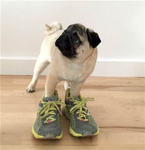 running pugs this pug is running a puppy marathon as owner runs boston today