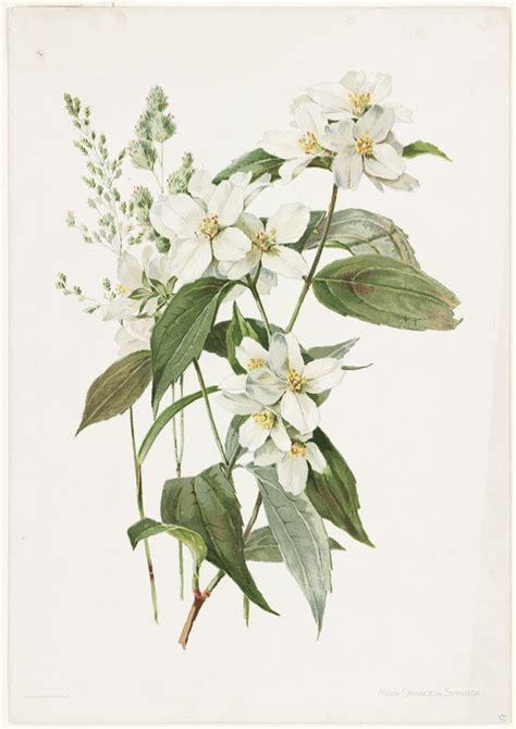 file mock orange or syringa boston public library jpg