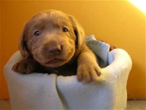 labrador suchen zuhause labrador welpen suchen neues zuhause hundewelt at