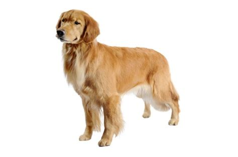 hypoallergenic golden retriever golden retriever purina