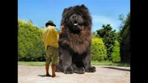 biggest dog house in the world giant house cat breed for pinterest pets world