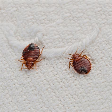 bed bugs solutions pest control solutions toronto advantage pest control