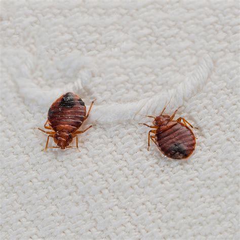 bed bugs solution pest control solutions toronto advantage pest control