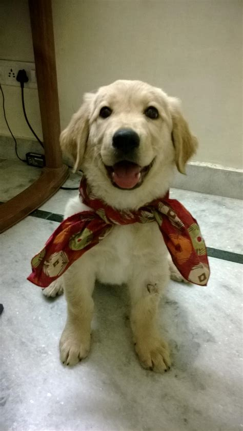 price of golden retriever in rupees golden retriever puppies for sale kethoseto 1 15998 dogs for sale price of