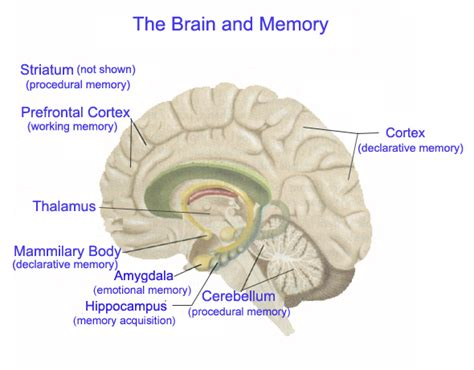 memory section of the brain memory what it is and how it is math for america new