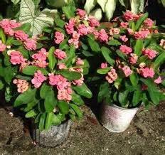 Pupuk Bunga Euphorbia tanaman bunga hias merawat bunga tanaman hias bibit