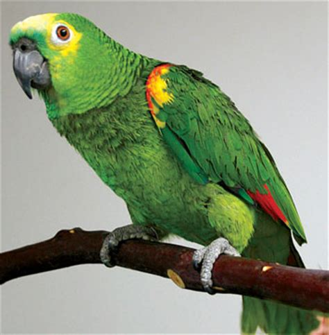 my birds pics post 2 parrot s price in india