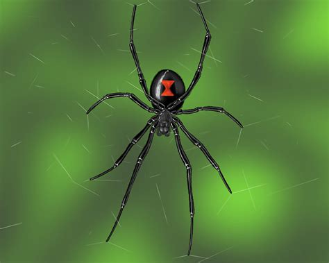 Garden Spider Toxicity Three Venomous Spiders To Out For At Your Home