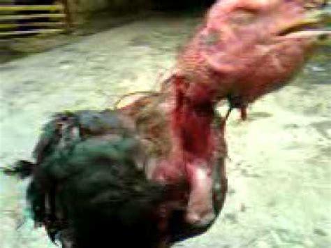 Ayam Potong Yang Sekarang Ayam Yang Telah Dipotong Leher Nya Masih Hidup Sai