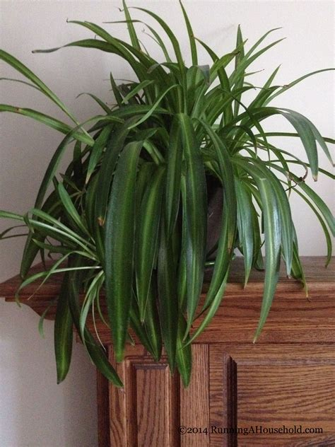 spider plant sprucing up your home with houseplants running a household
