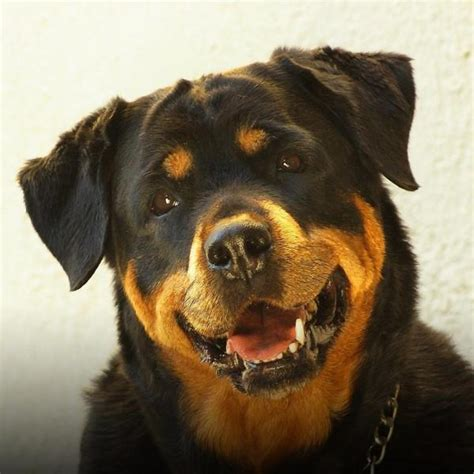 are rottweilers aggressive are rottweilers dangerous dogs