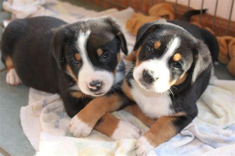 swissy puppies dufenhof swissies greater swiss mountain breeder rixeyville virginia