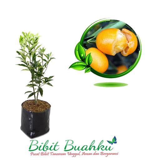 Tanaman Jeruk Nagami Bundar 1 bibit tanaman jeruk nagami unggul kecil sai berbuah