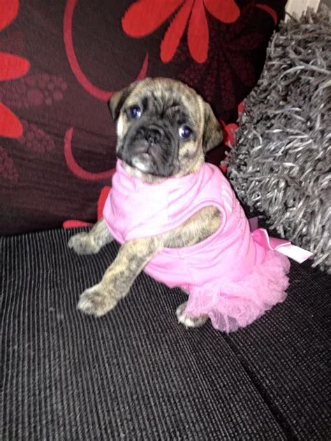 pug puppies for sale in leicester stunning bulldog pug puppies for sale leicester leicestershire pets4homes
