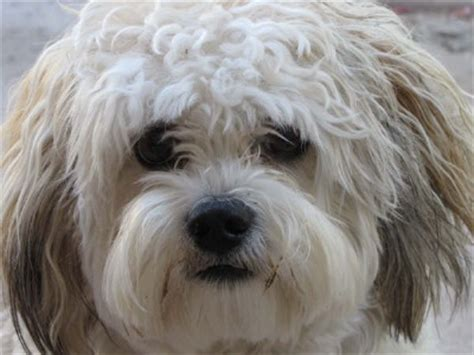 how to cut a shichon s hair 1000 images about shichon on pinterest