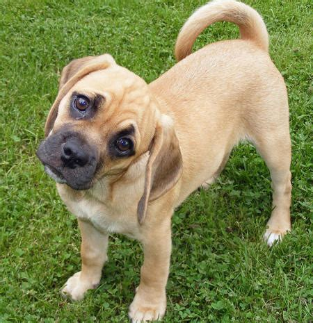 pug puggle mix how to oxygenate a pug history