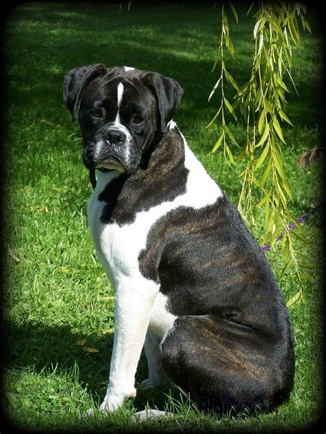boxer puppies for sale mn 25 best boxer puppies for sale ideas on boxer pups for sale boxer dogs