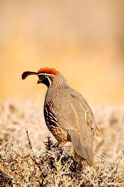 240 best images about i so love quails on pinterest