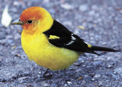 western tanager piranga ludoviciana bird spotting the