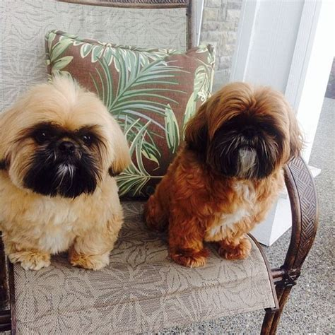 shih tzu with black mask shih tzu brothers freddie left gold w black mask and younger bro right