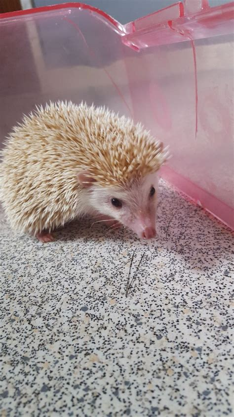 hedgehog for sale african pygmy hedgehog for sale halifax west yorkshire