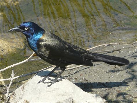 toronto wildlife more common grackle