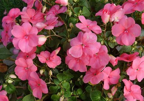 Bijibenihbibit Bunga Pacar Air Jingga daftar nama bunga lengkap beserta gambar dan penjelasannya