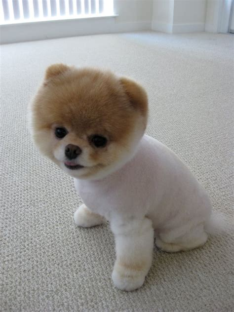cutest pomeranian puppy in the world the cutest dogs in the world the wastetime post breeds picture