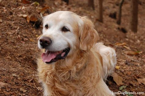 types of golden retriever breeds breed golden retriever previous next breeds picture