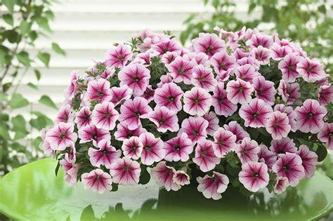 fiori petunia petunia f1 opera supreme series american takii