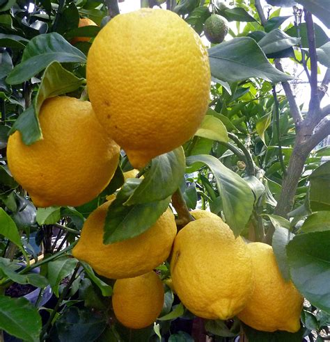 when do lemon trees produce fruit varieties of lemon trees grow citrus all about lemon