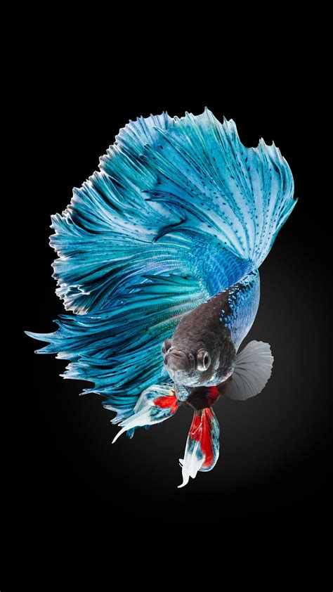 Wallpaper For Iphone Fish | betta fish wallpaper iphone 6 and iphone 6s hd animal