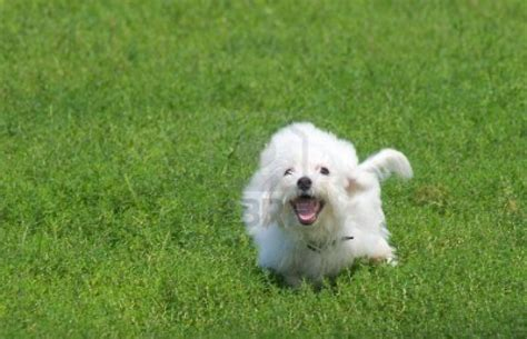 bichon puppies puppy dogs bichon frise puppies