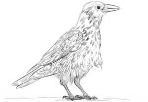 crow bird coloring page 85 crow bird coloring page birds coloring pages
