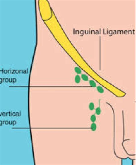 lymph nodes groin diagram location of lymph nodes in the groin location get free