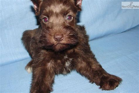 liver schnauzer puppies for sale liver miniature schnauzer puppies www imgkid the image kid has it