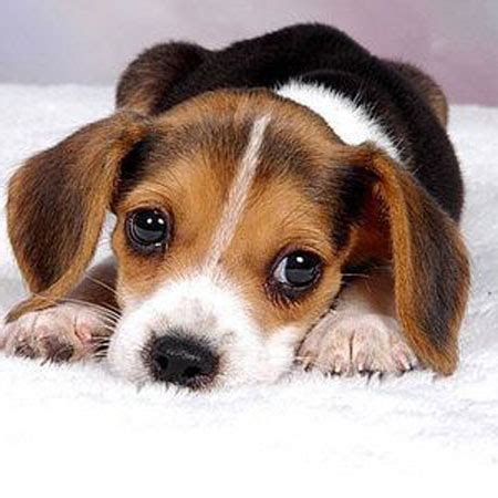 puppy cries why your puppy pup puppies cries at how to overcome it and crate by