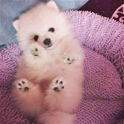 miniature teddy pomeranian puppies best 25 white pomeranian ideas on white pomeranian puppies pomeranian