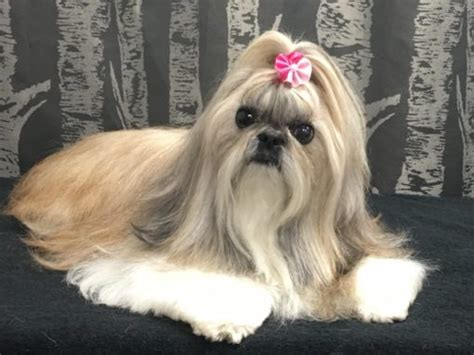 shih tzu sheltie mix wags to riches quality pet grooming