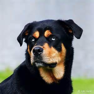 husky rottweiler puppies husky rottweiler mix animals rottweiler mix the o jays and suits