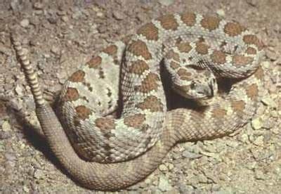 eastern diamondback rattlesnake sensational serpents