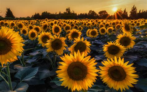 Nice Garden by Most Beautiful Sunflowers Wallpapers Hd Wallpapers Rocks