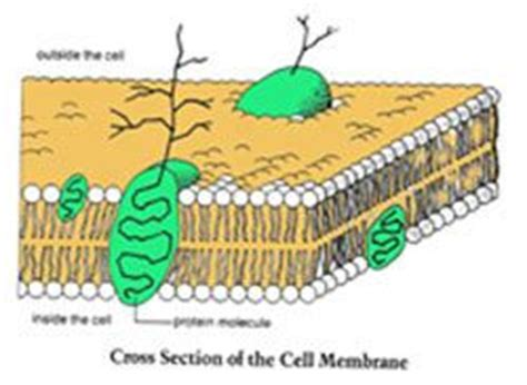 cross section of cell membrane cross section of a cell membrane pictures to pin on