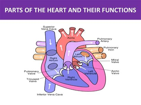 sections of the heart parts of the heart