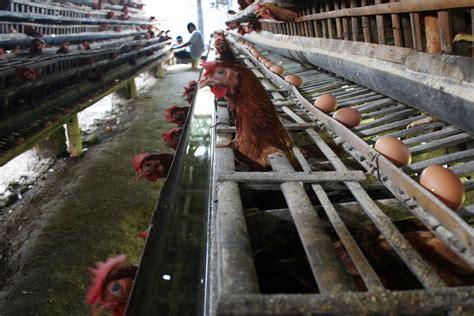 Pakan Udang Di Surabaya cara ternak sapi keren pabrik pakan ternak jawa timur