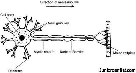 motor neurom motor neurons neurons motor